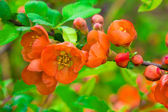 The Japanese quince — Stock Photo