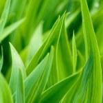 Green iris leaves iris close-up — Stock Photo