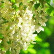 Blossoming branch of acacia tree - Stockfoto
