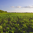 Green field with young corn at sunset — Stock Photo #9677533