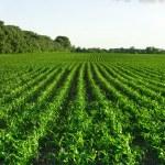 Green corn field and blue sky — Stock Photo