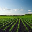 Green field at the sunset — Stock Photo