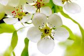 Flor de maçã — Fotografia Stock