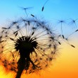 Dandelion — Stock Photo #8524215