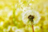 Dandelions on a green meadow — Stock Photo