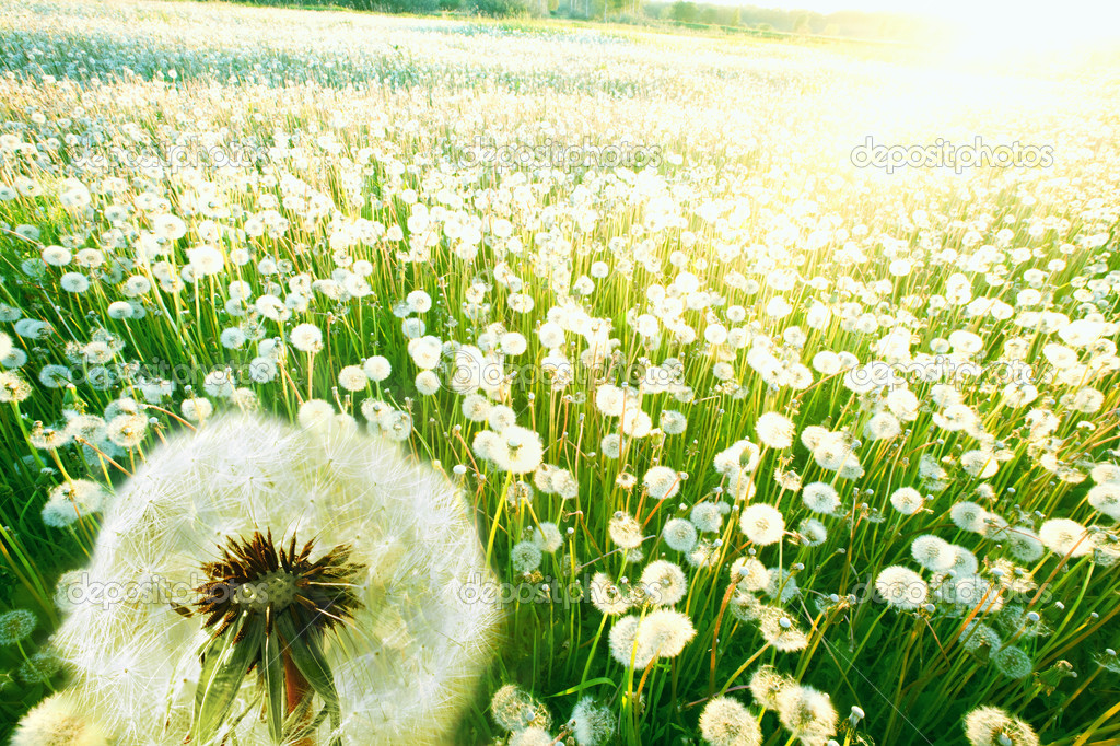 Dandelions on a summer solar meadow — Stock Photo #8769575