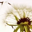 Macro dandelion — Stock Photo #8785062