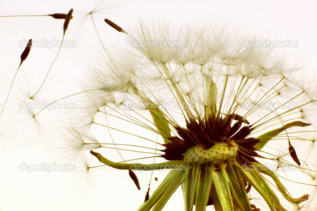 Macro kind of a dandelion scattering seeds — Stock Photo #8785062