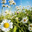Charming camomiles - Stock Photo