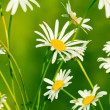 Field of daisy flowers — Stock Photo #9262871