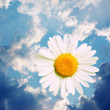 Stock Photo: CAMOMILE IN HEAVENS