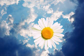 CAMOMILE IN HEAVENS — Stock Photo