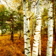 Forest birch — Stock Photo #9942252