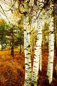 Forest birch — Stock Photo