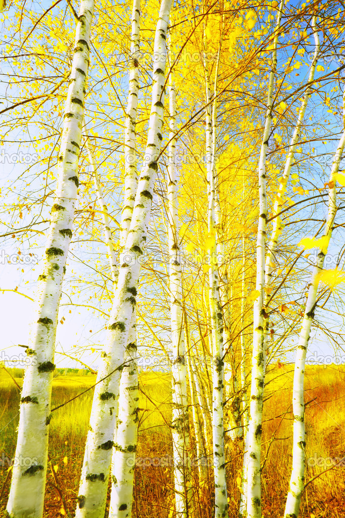 Birch forest in sunlight in the morning — Stock Photo #9942373