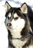 Beautiful Siberian Husky — Stock Photo