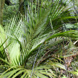 Ferns in dense tropical jungle — Stock Photo