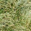Grasses — Stock Photo #8129069