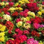 Flowers — Stock Photo #8390646