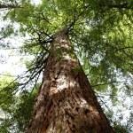 Redwood tree — Stock Photo #9245165