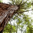 Redwood tree — Stock Photo