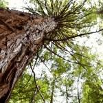 Redwood tree — Stock Photo #9245306