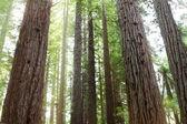 Redwood trees — Stock Photo