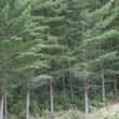 Pine forest - Stock Photo