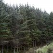 Pine forest - Foto Stock