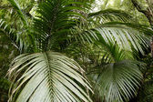 Ferns in tropical jungle — Stock Photo