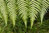 Closeup of fern leaves — Stock Photo
