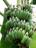 Banana on Tree — Stock Photo