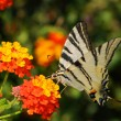 Scarce Swallowtail (Iphiclides podalirius) — Stock Photo