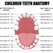 Royalty-Free Stock Vector Image: Anatomy of children teeth