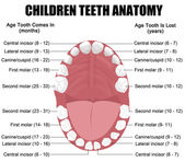 Anatomy of children teeth — Stockvector