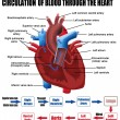 Circulation of blood through the heart - Stok Vektör