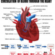 Circulation of blood through the heart - Stockvectorbeeld
