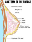Anatomy of the breast — Stock Vector