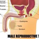 Постер, плакат: Male Reproductive System