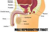 Męski układ rozrodczy. — Wektor stockowy