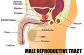 Male Reproductive System — Stock Vector