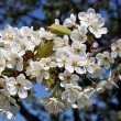 Tree with blossoms in spring - Stock Photo