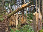 Bouří. stromy v lese po bouři. — Stockfoto