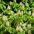 Flowers of a chestnut tree — Stock Photo