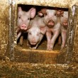 Piglets in the barn - Stock Photo