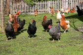 Happy chickens on a farm — Stock Photo