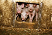 Piglets in the barn — Stock Photo