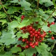 Red currant. currant. ribes rubrum — Stock Photo