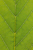 Veins of a leaf — Stock Photo