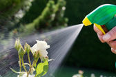 Pest control. roses in the garden — Stock Photo